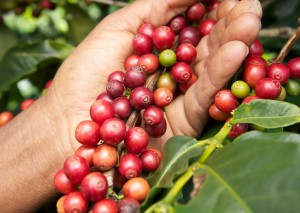 Kaffeeernte